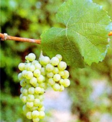 Riesling uva